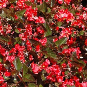 Whopper Red with Bronze Leaf Begonia