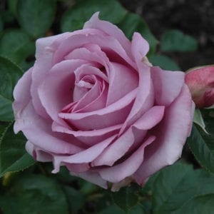 Love Song Rose