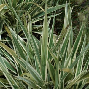 Variegated Flax Lily